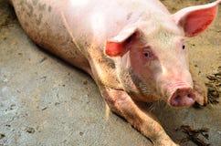 Single pig at an farm Royalty Free Stock Image