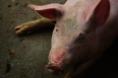 Single pig at an farm Royalty Free Stock Photos
