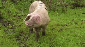 Single pig walking alone. A single pig walking alone on a green grass field. The shot is tracking and medium stock video