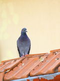 Single pigeon Stock Photos