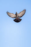 Single pigeon flying in  air. Single pigeon in the air with wings wide open Royalty Free Stock Photography
