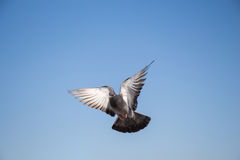 Single pigeon flying in  air. Single pigeon in the air with wings wide open Royalty Free Stock Images