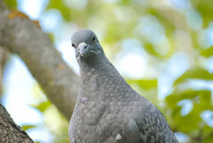 Single pigeon Royalty Free Stock Photo