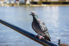 Single pigeon sitting on a bar Royalty Free Stock Images