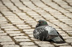 Single pigeon sitting calmly on cobble stone walk Royalty Free Stock Photo