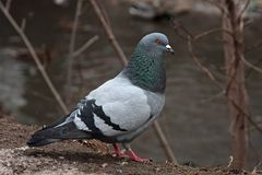Single pigeon walking. Portrait of Rock Dove Stock Photography