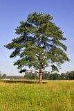 Single pine Stock Photo