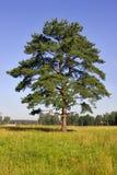 Single pine Stock Photo