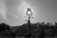 Single pine Stock Photography