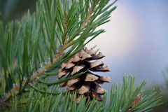 A Single Pine Cone Royalty Free Stock Photography
