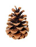 Single pine cone. Pine cone isolated on white background Stock Image
