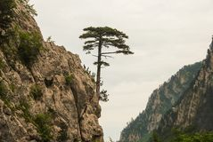 A single pine, growing highly on a rocky mountain. A single pine, growing highly on a rocky mountain under the sky. The photo was shot in Montenegro Royalty Free Stock Images