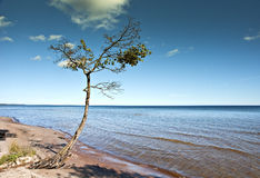 Single pine at the seashore. Stock Photo