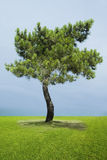 Single Pine Tree. On green grass royalty free stock photo