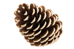 Single pine tree cone Royalty Free Stock Image