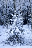 Single pine tree covered with snow in the forest Royalty Free Stock Image