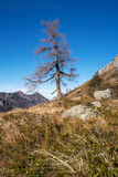 Single pine tree in the mountains Stock Image