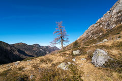 Single pine tree in the mountains Royalty Free Stock Images