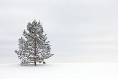 Single Pine Tree Snow White. Single Ponderosa Pine Tree in snow against wintery sky royalty free stock photos