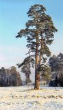 Single pine tree in snowed field Royalty Free Stock Photos