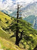 Single pine tree on a steep hillside in Switzerland. Single pine tree on a steep hillside in the Saas Valley, Switzerland royalty free stock image