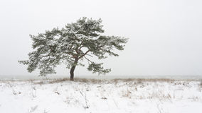 Single pine tree at winter Royalty Free Stock Photography