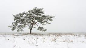 Single pine tree at winter royalty free stock photography