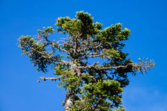 Single pinetree on blue sky background. Summer day Stock Photos