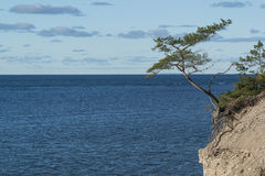 Single pinetree on the cliff. At sunny day Stock Images