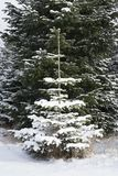 Single pinetree in the forest covered in snow. A single pinetree with snow in the forest in winter time Royalty Free Stock Image
