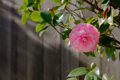 Single Pink Camelia Fence Stock Photo