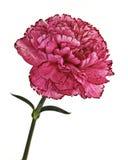 Single pink carnation flower Stock Images