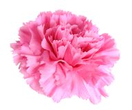 Single pink carnation Stock Photos