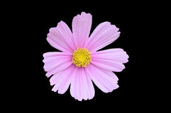 Single pink cosmos bipinnatus flower isolated on a black backgro. Und Royalty Free Stock Photo