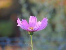 Single Pink Cosmos Flower Closeup Stock Photo