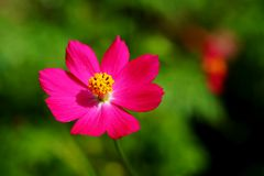 Single pink cosmos flower in day light with green garden background. Have some space for write wording royalty free stock image