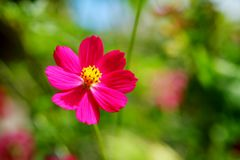 Single pink cosmos flower  in day light  with green garden background Stock Images