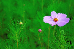 Single pink cosmos flower and single flower bud Royalty Free Stock Photos