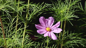 Single pink cosmos flower Stock Photography