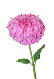 Single Pink Dahlia Royalty Free Stock Image