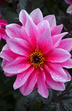 Single pink dahlia flower Royalty Free Stock Photo