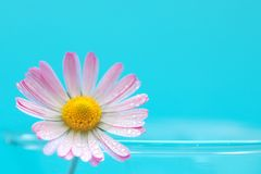 Daisy flower on turquoise background royalty free stock photos