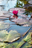 Single pink exotic water lily in tropical pond Tobago Stock Photos