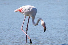 Single Pink Flamingo. Side profile of Single flamingo wading in foreground with water background Stock Images