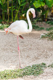 Single pink flamingo bird Royalty Free Stock Photography