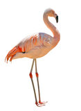 Single pink flamingo isolated on white Stock Images