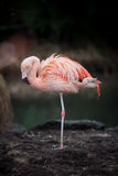 Single pink flamingo sleeping. Single pink or scarlet flamingo sleeping balancing on one foot with its head retracted and its feathers ruffled royalty free stock photo