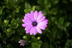 Single pink flower Stock Image