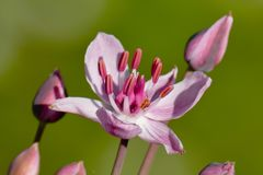 Single pink flower of Flowering Rush or Swan Flower - macro stock image