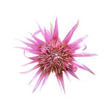 Single pink flower isolated Royalty Free Stock Images
